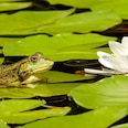 Frosch - Teich