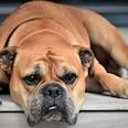 Muss draußen bleiben: Mit einer Hundeklappe mit Mikro-Chip, kommen keine ungebetenen Gäste rein