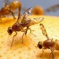 Fruchtfliegen fangen - Plagegeister auf natürliche Weise loswerden