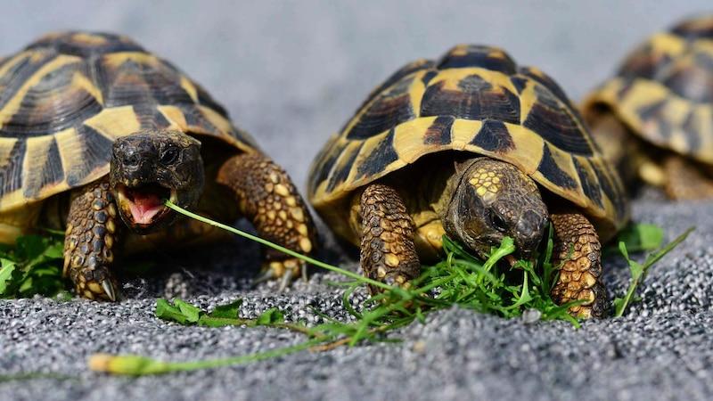 Als Frühbeet für Schildkröten sind Gewächshäuser perfekt