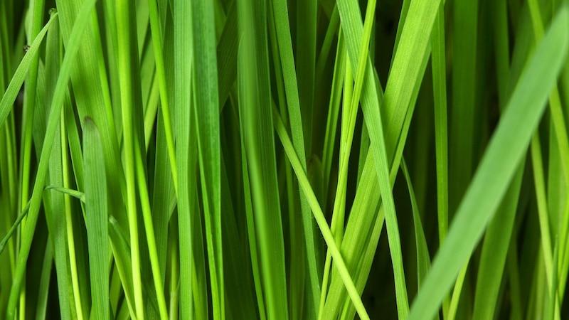 Rasen wird gelb und wächst nicht mehr - Daran kann's liegen