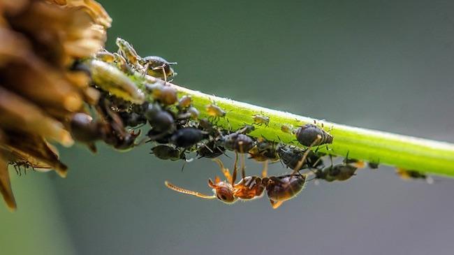 Ameisen fressen sehr gerne Blattlauskot