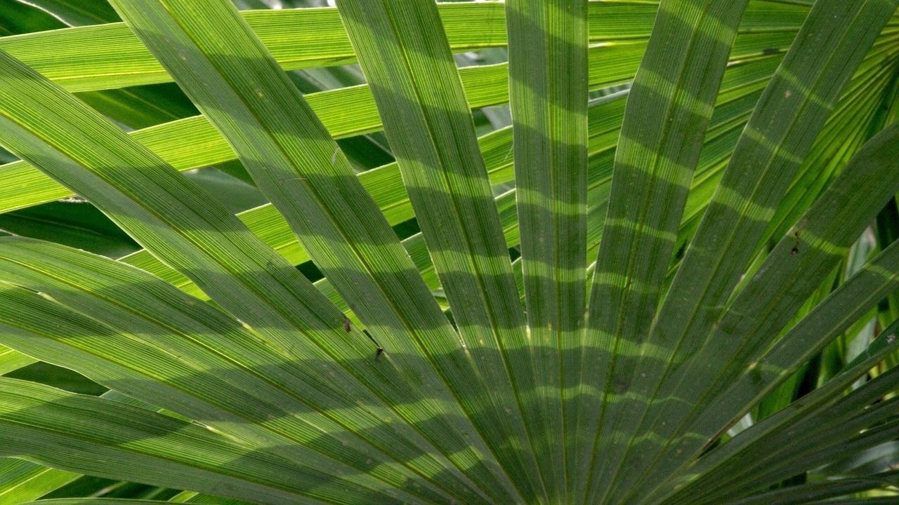 In einer Palmblattbibliothek können Sie jahrhundertealte Palmblätter finden.