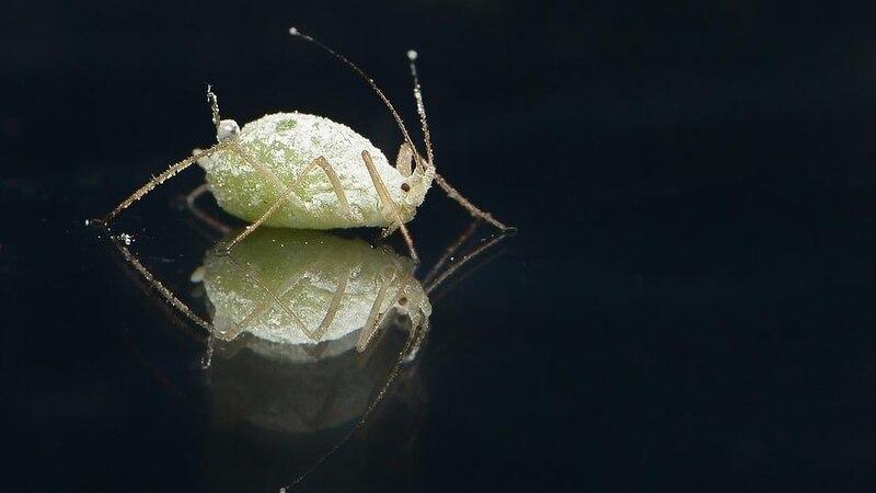 Bei der Bekämpfung von Blattläusen helfen bereits einfache Mittel.