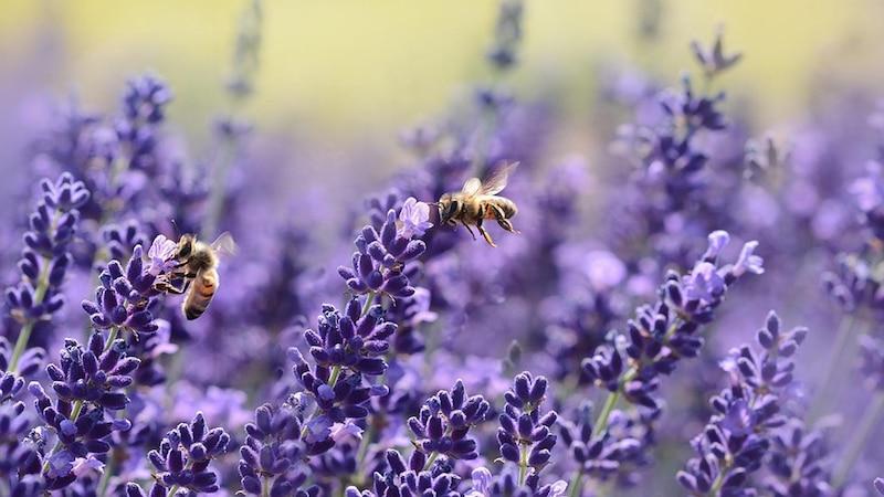 Lavendel gegen Mücken – das sollten Sie wissen