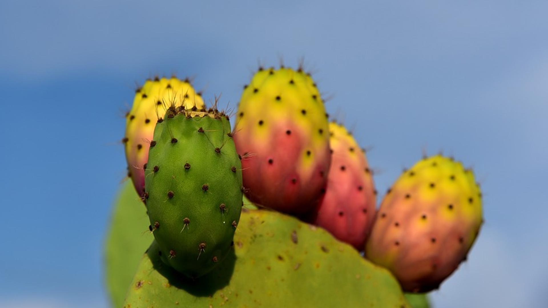 So gesund ist die Kaktusfeige: Das steckt unter der stacheligen Haut