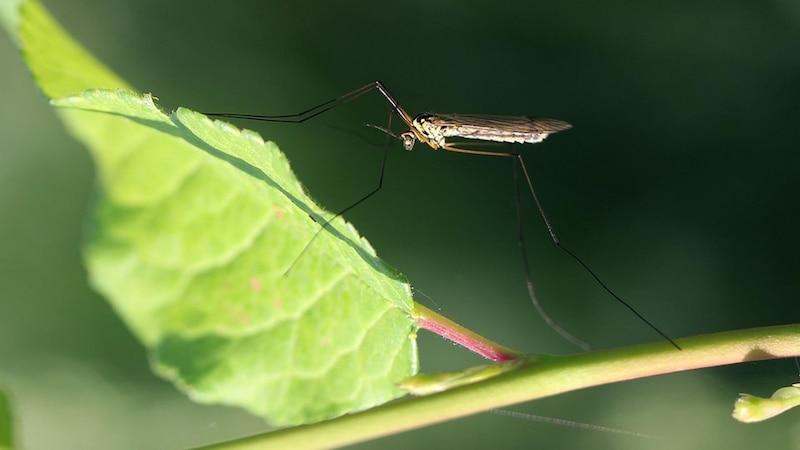 Darum jucken Mückenstiche - einfach erklärt