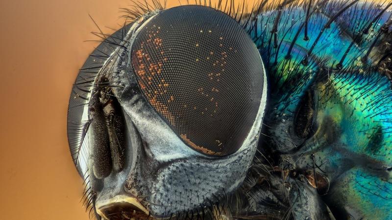 Schmeißfliege bekämpfen: Tipps zum Loswerden der Fliegen