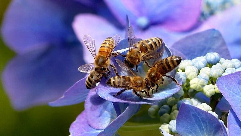 Balkonblumen für Bienen bieten den kleinen Insekten viel Nektar