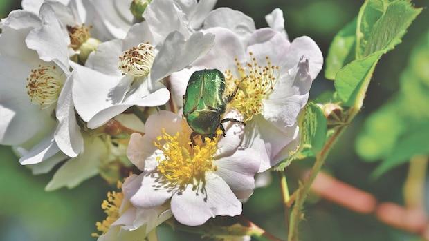 Der Rosenkäfer ist kein Schädling, er frisst lediglich die Pollen Ihrer Rosengewächse.