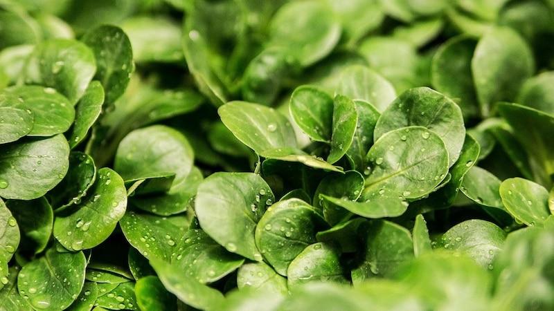 Feldsalat lagern: Darauf sollten Sie achten