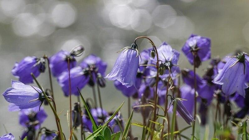 Ob Glockenblumen giftig sind oder nicht, konnte bisher nicht eindeutig geklärt werden