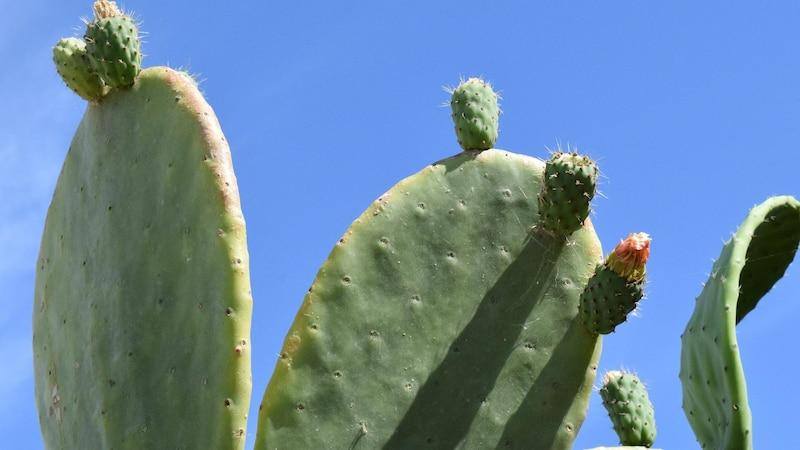 Wie man Kaktusfeigen richtig isst, lässt sich leicht erklären