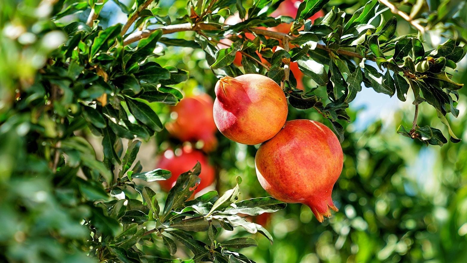 Granatapfel und Histamin: Das müssen Sie beachten