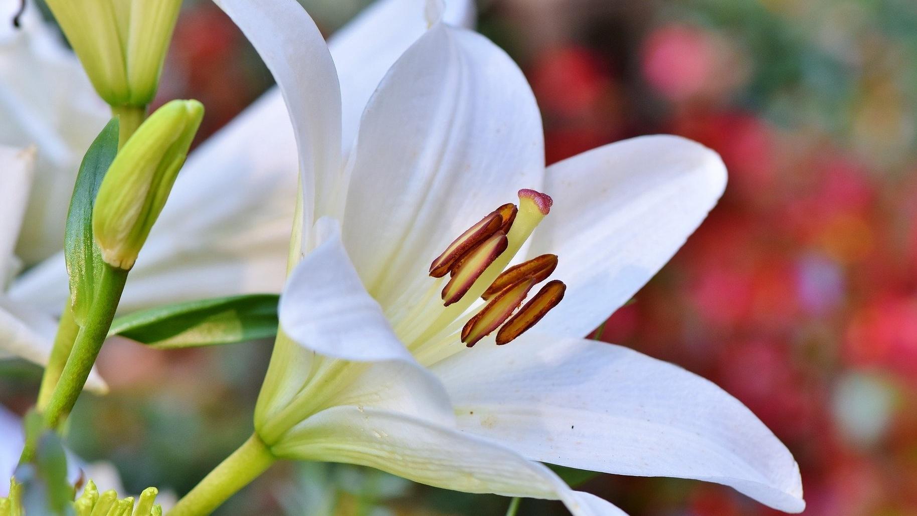 Lilien einpflanzen: Das sollten Sie beachten