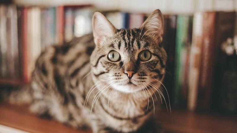 Schokolade für Katzen: Das müssen Sie wissen