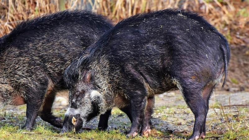 Wildschweine fühlen sich in allen Regionen der Welt wohl.