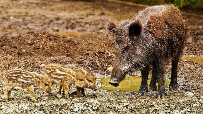 Besonders umsichtiges Verhalten ist wichtig, wenn Sie auf ein Wildschwein mit Nachwuchs treffen