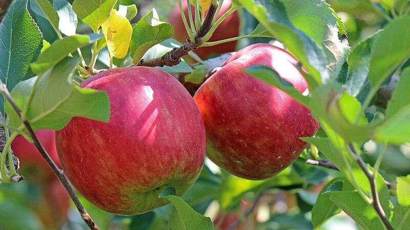 Äpfel faulen am Baum: Ursachen und Tipps