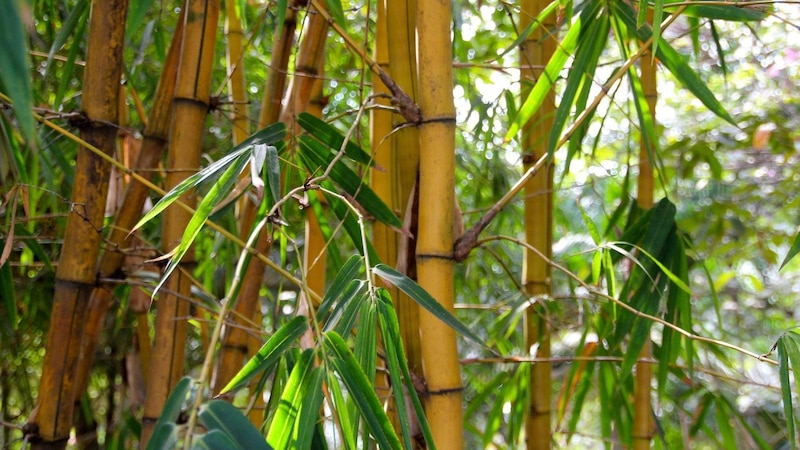 Bambus im Topf anpflanzen: Was Sie dabei beachten sollten