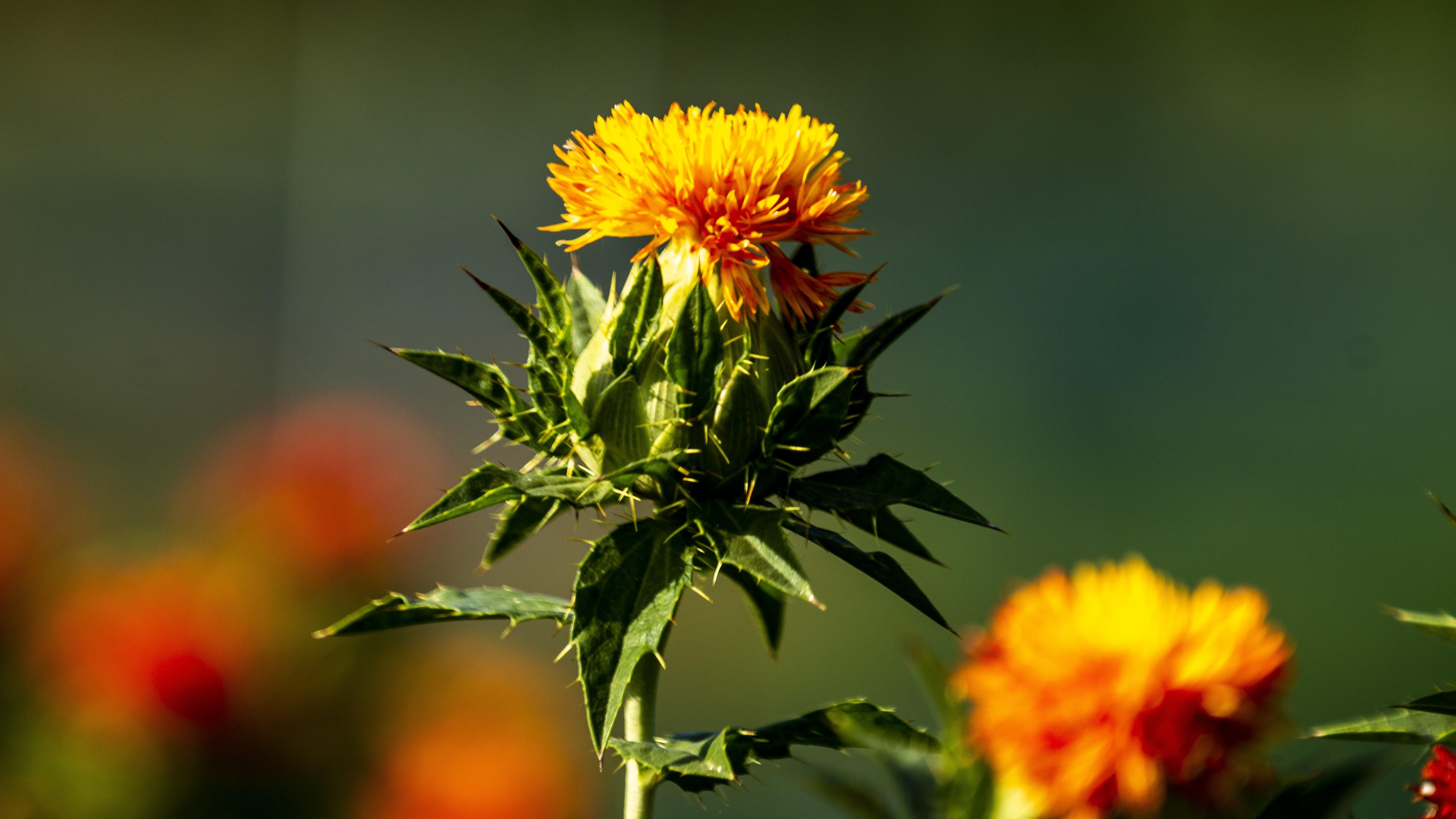 Disteln als Ziergewächs pflanzen: Das müssen Sie wissen