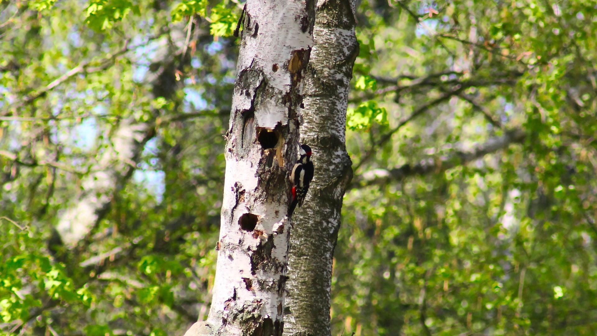 Brüten Vögel in Ihrer Birke, können Sie eine Fällgenehmigung meist vergessen.