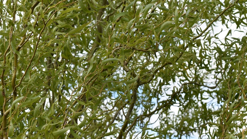 Korkenzieherweide vermehren - so klappt's