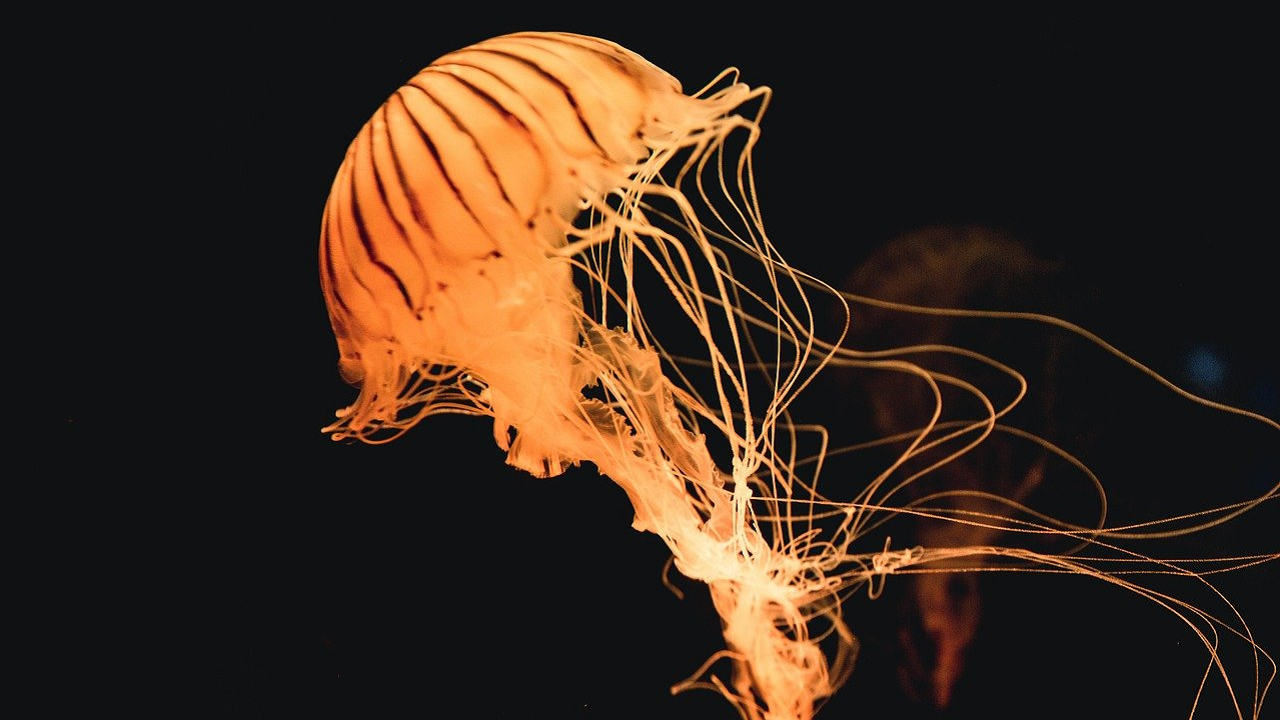 Qualle als Haustier halten: Was Sie dabei beachten sollten
