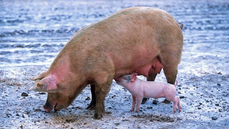 Im Gegensatz zum Menschen haben Tiere oft keine andere Wahl als auf Pheromone zu reagieren.