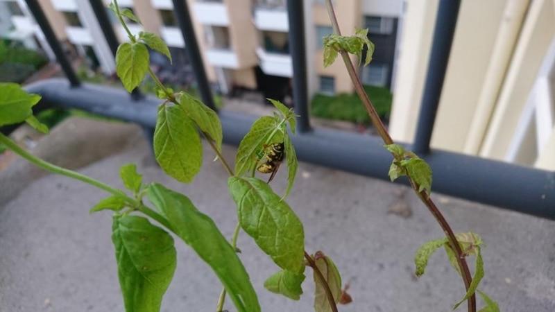 Wespen stechen nur bei Bedrohung und sollten daher in Ruhe gelassen werden.