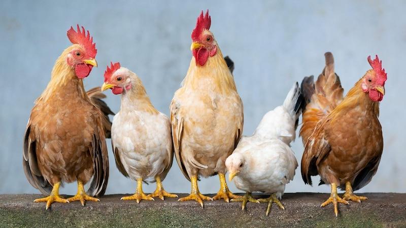 Wenn Hühner keine Eier legen, ist das nicht immer ein Grund, besorgt zu sein