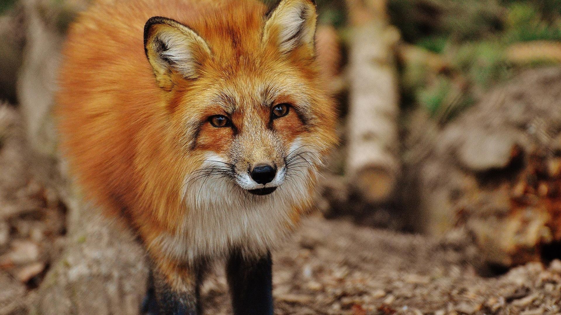 Das Krafttier Fuchs steht insbesondere für eine ausgerpägte Schläue und Anpassungsfähigkeit.