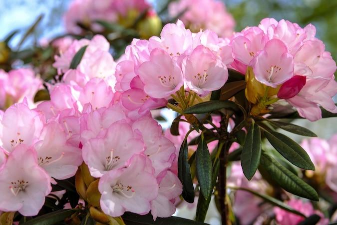 Gelbe Blätter bei Rhododendron: So lösen Sie das Problem