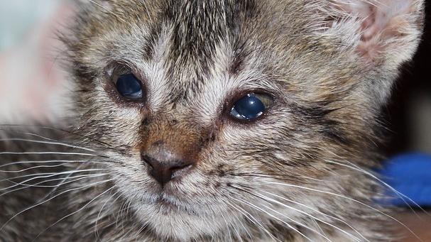 Eine Infektion mit Chlamydien macht sich bei Katzen vor allem durch eine Bindehautentzündung bemerkbar.