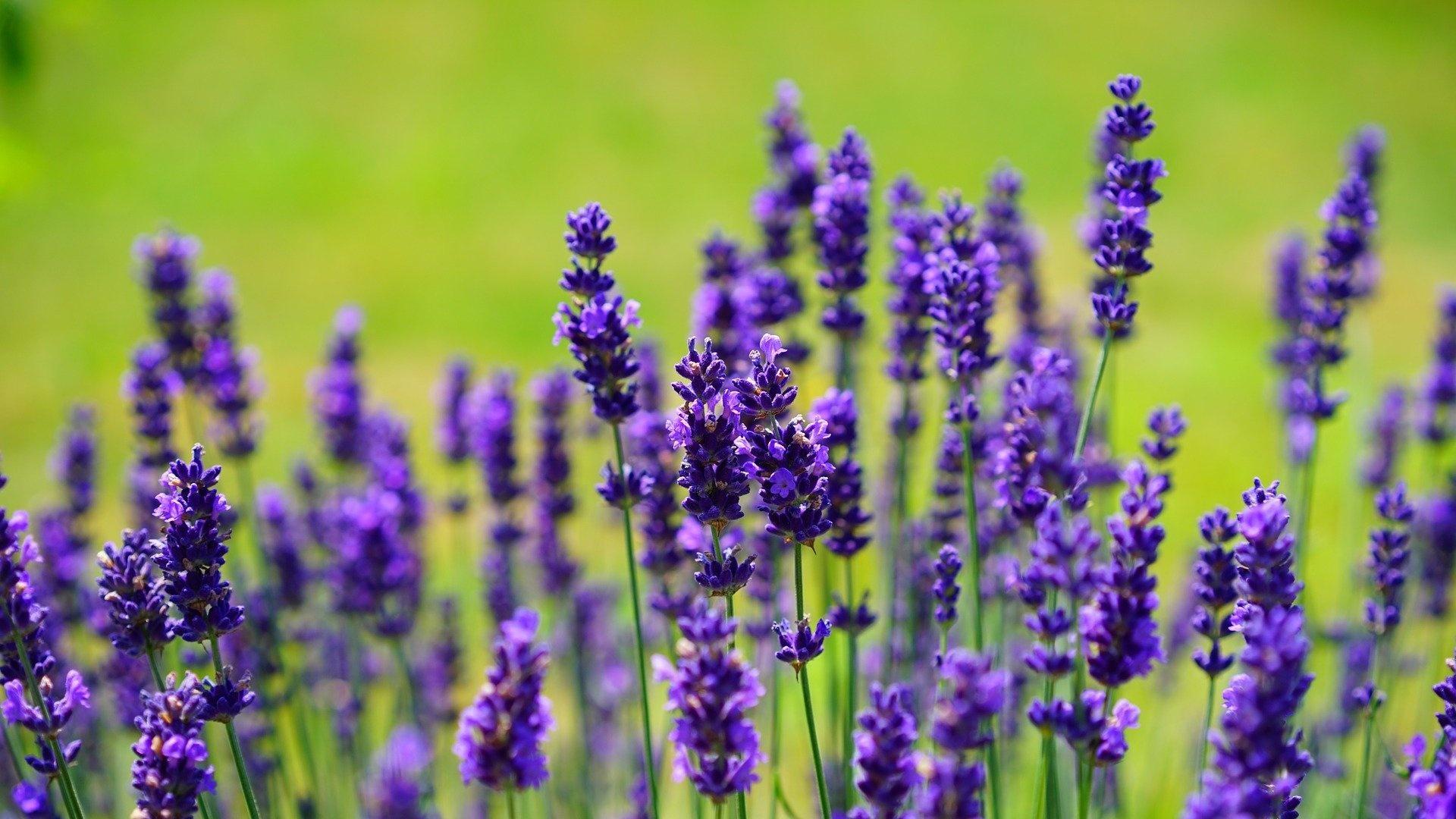 Lavendel verarbeiten - 5 tolle Anwendungen