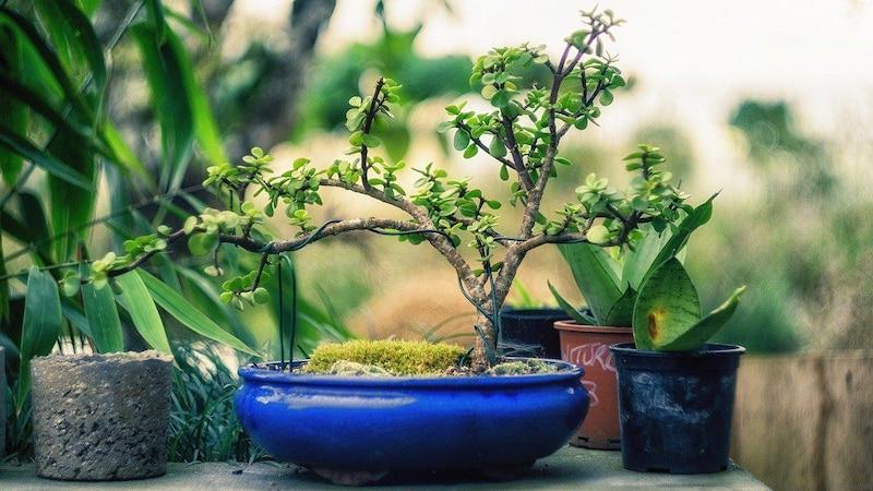 Das Drahten dient dazu, einen Bonsai in seinem Wuchs zu beeinflussen und so die Optik zu verbessern.