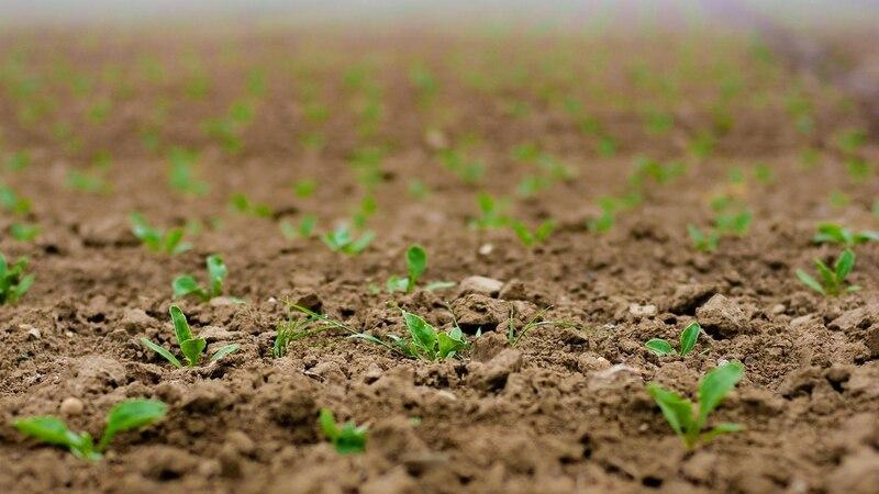 Chinakohl pflanzen und pflegen - so geht's