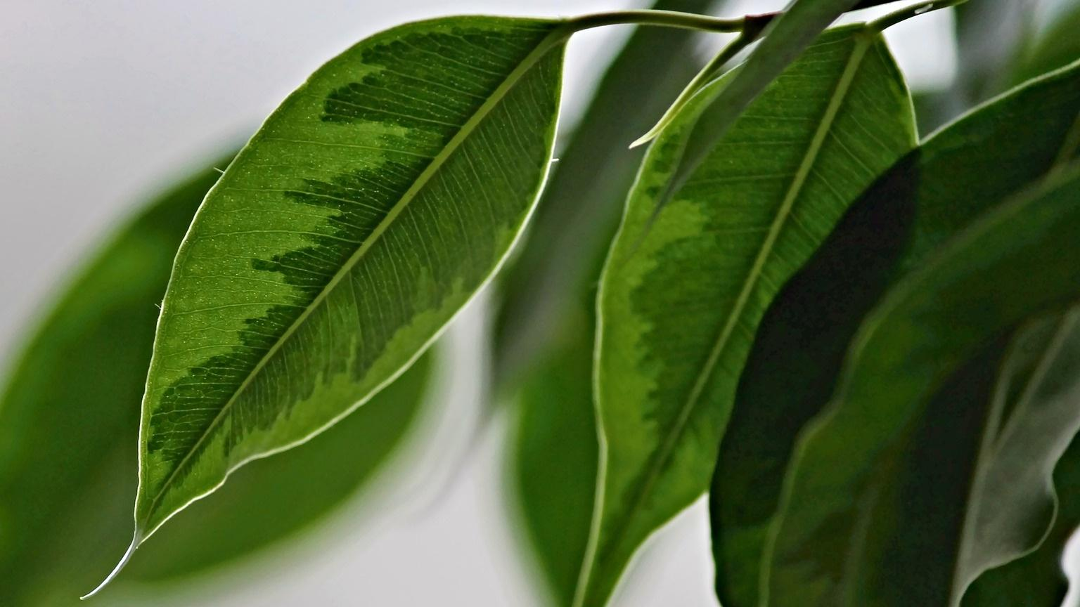 Ficus Arten: Diese sollten Sie kennen