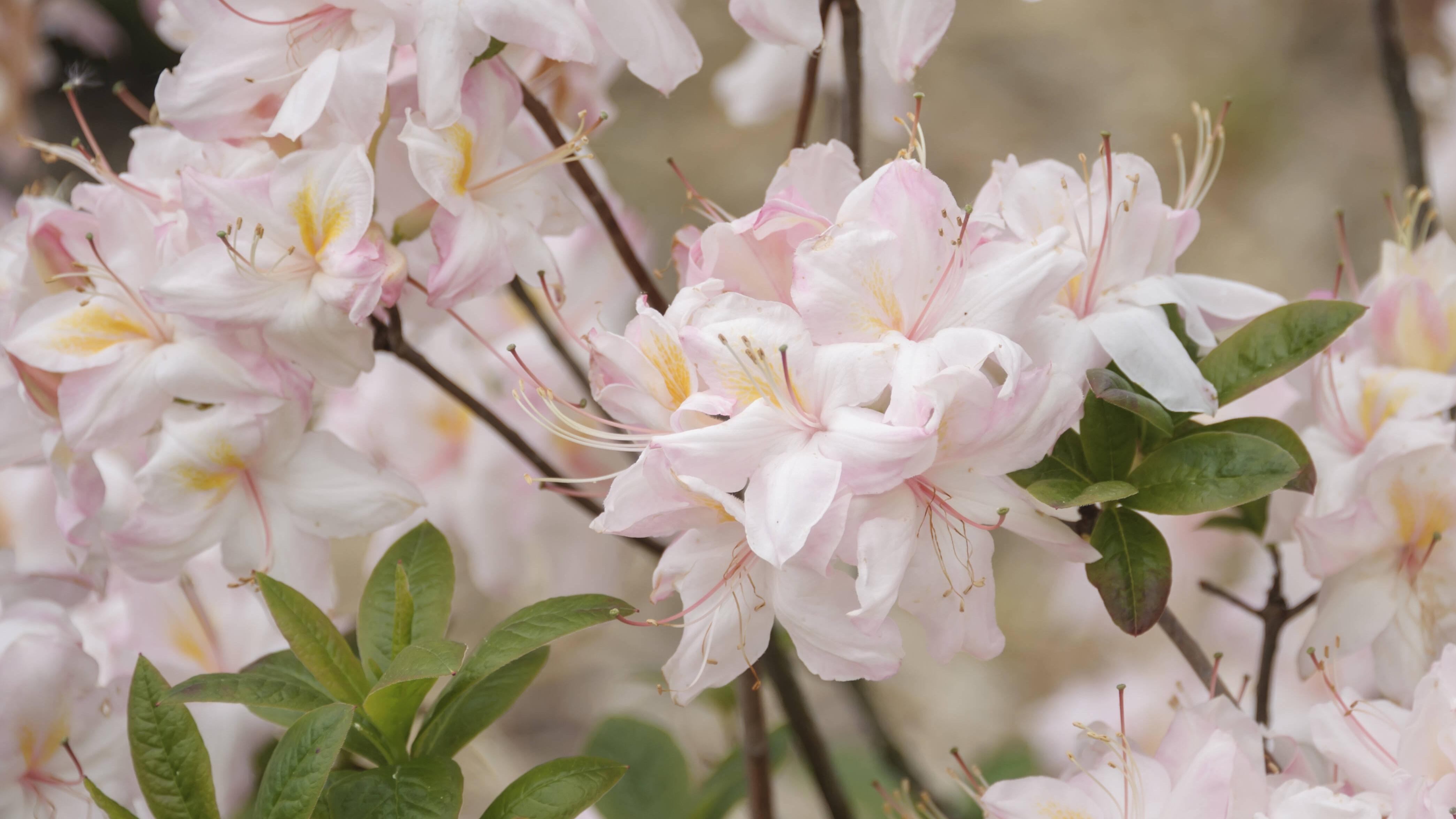 Der Rhododendron ist ebenfalls eine winterharte Pflanze, die Sie auf dem Balkon anpflanzen können.