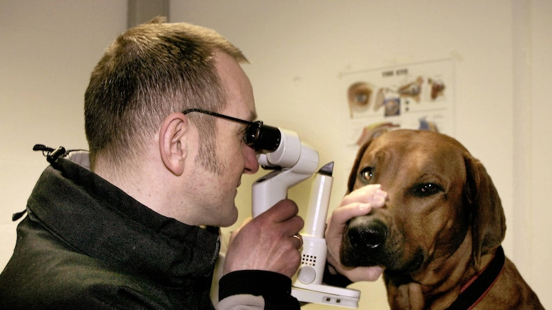 Eine Bindehautentzündung lässt sich bei Hunden nur begrenzt selber behandeln. Häufig muss der Tierarzt Medikamente verordnen.