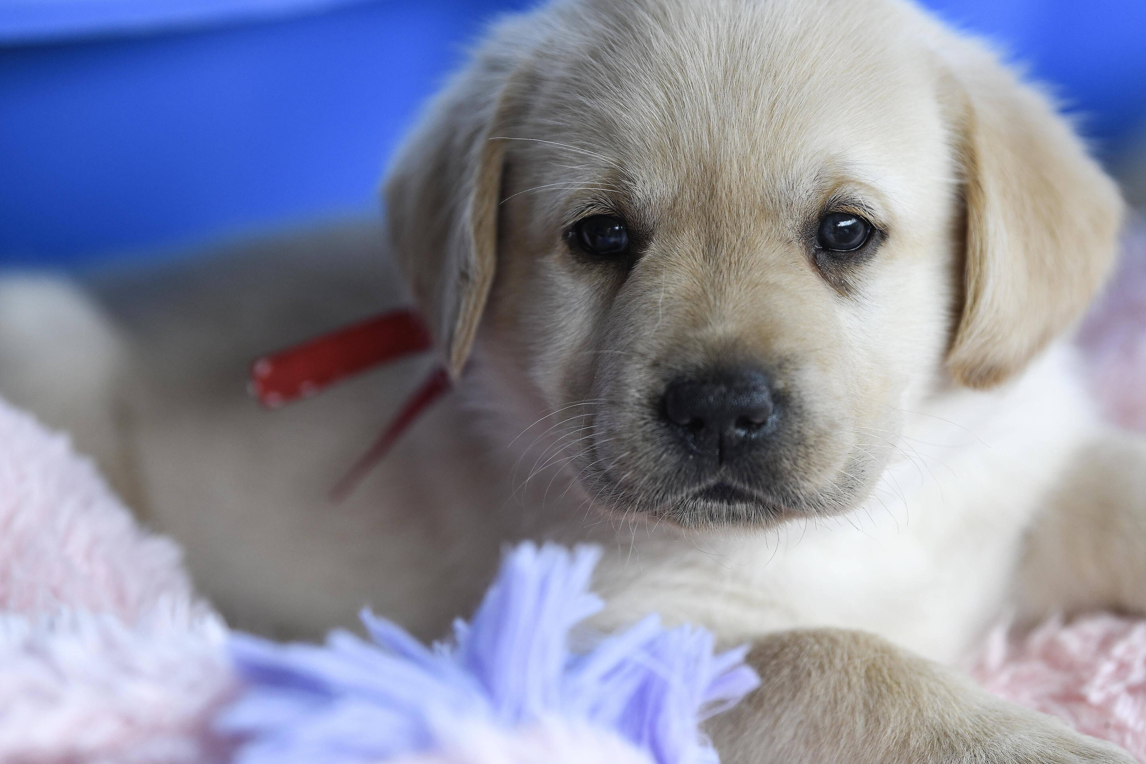 Futter für den Labrador: Was Sie dabei beachten sollten