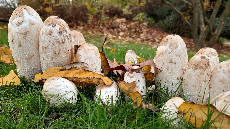 Schopfintling sammeln: Was bei dem Pilz zu beachten ist