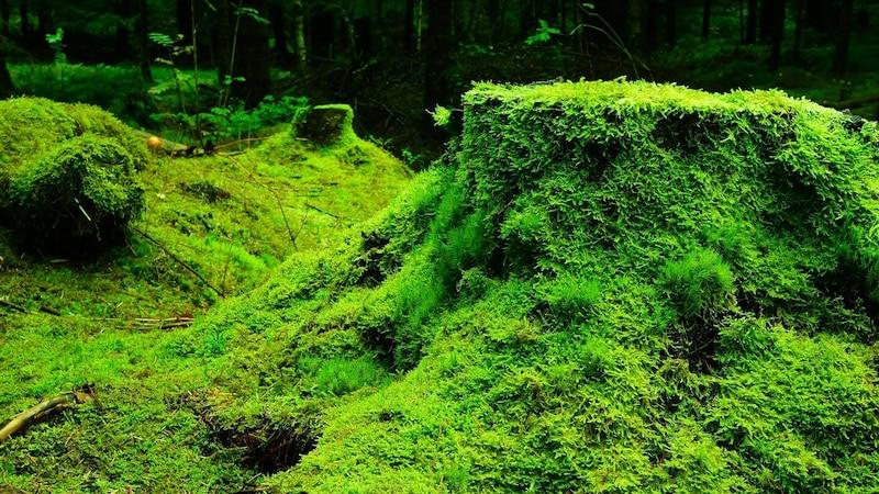 Moos hilft gegen Falten. Dieses verdanken wir der starken Anpassungsfähigkeit der Pflanze.