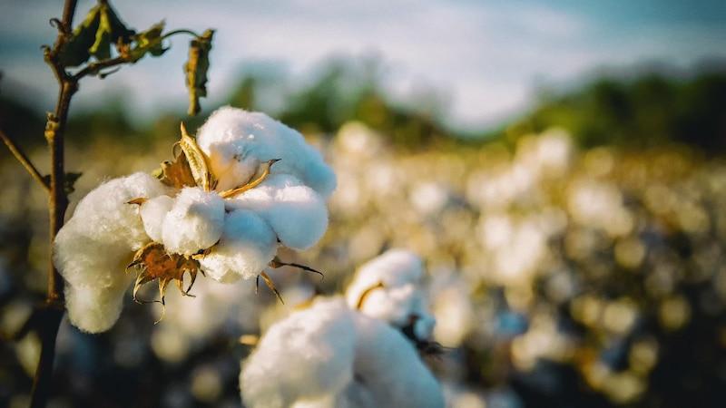 Die Anbaugebiete für Baumwolle liegen größtenteils in tropischen oder subtropischen Regionen.