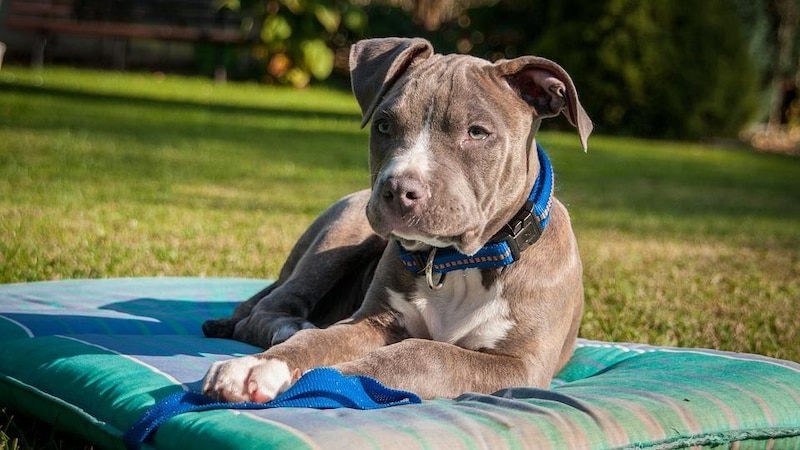 Amerikanischen Hunderassen: Der Amerikanische Staffordshire Terrier zählt zu den beliebtesten.