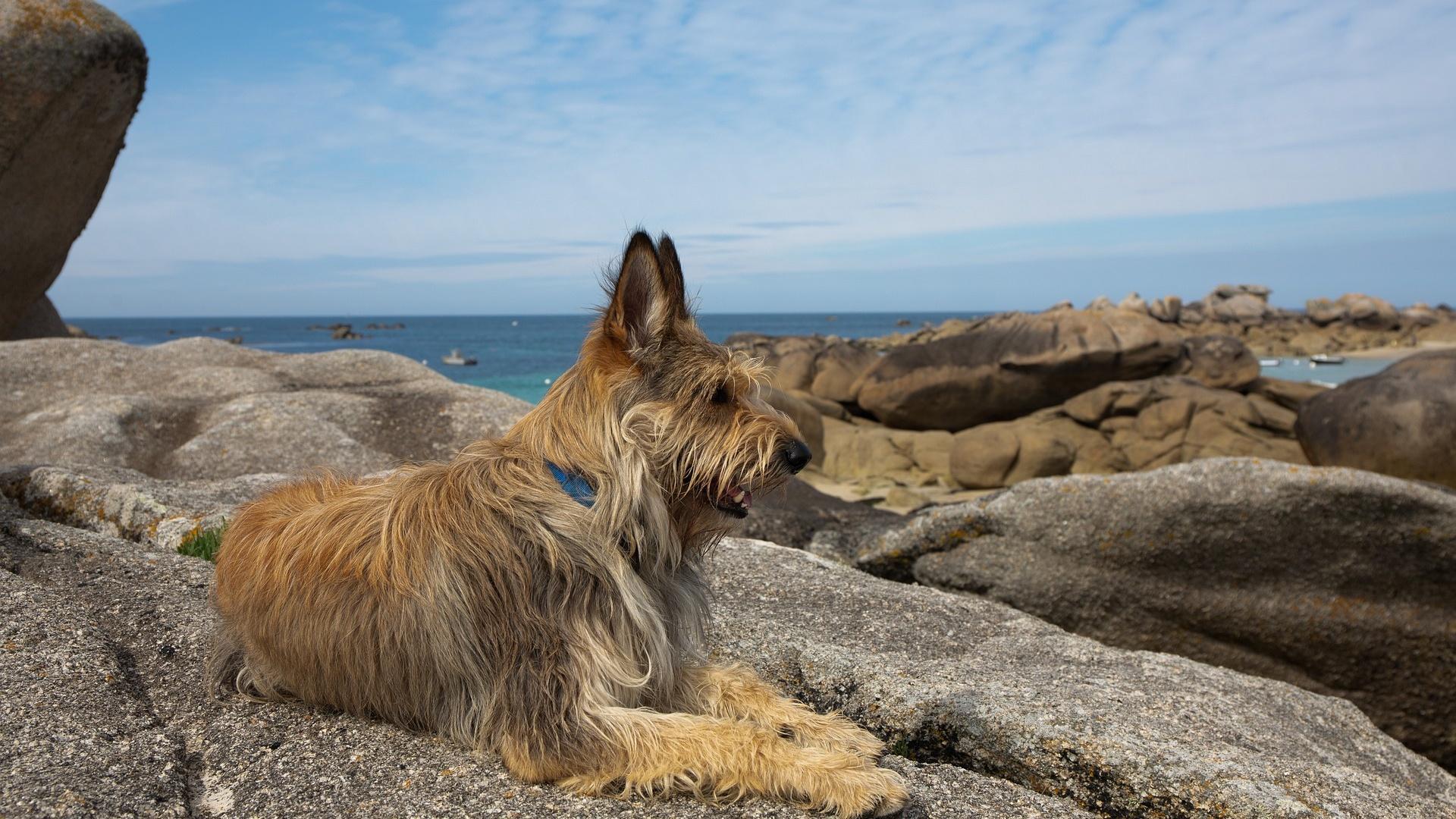 Der Berger Picard ist ein französischer Hütehund und gehört zu den Vertretern der großen, französischen Hunderassen.
