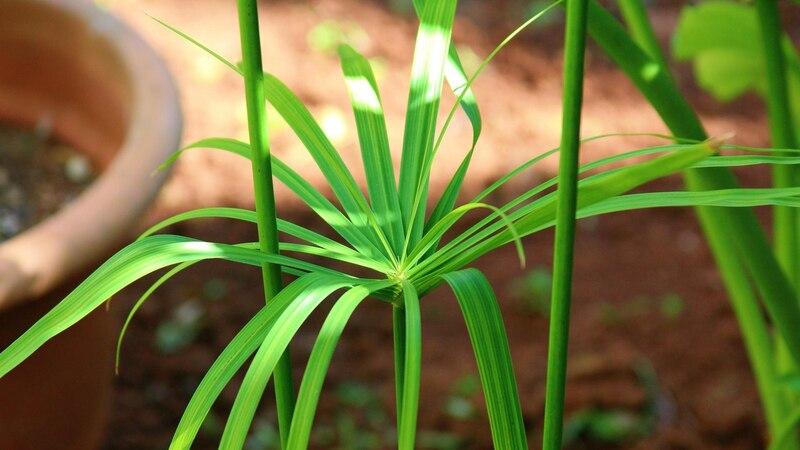 Papyrus Pflanzen benötigen in der Pflege reichlich Wasser und Sonne.