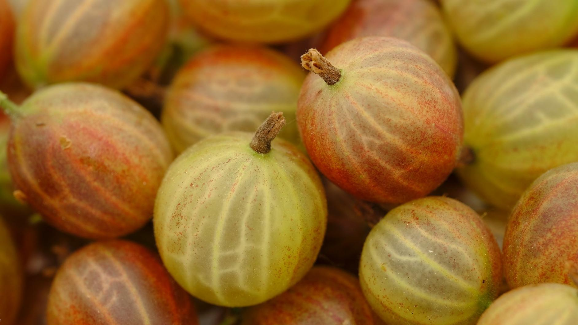 Stachelbeeren pflanzen und pflegen: Die besten Tipps