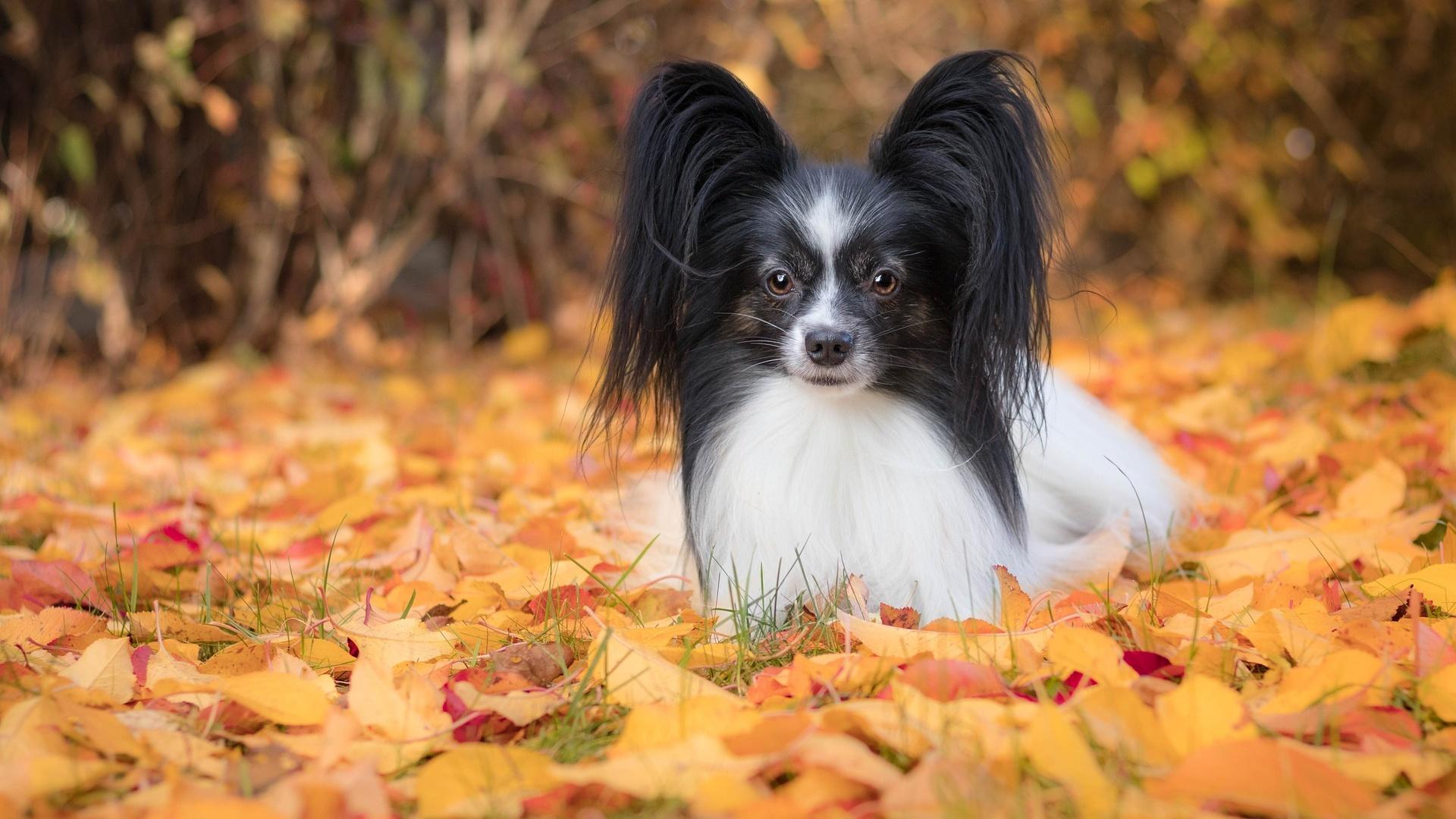 Der Papillon gehört zu den kleinen, französischen Hunderassen.
