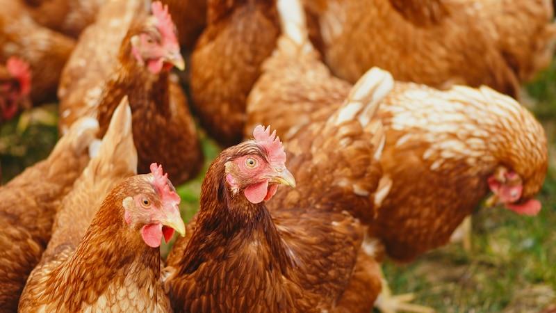 Wenn Hühner im Herbst ihre Federn verlieren, ist das meist kein Grund zur Sorge.